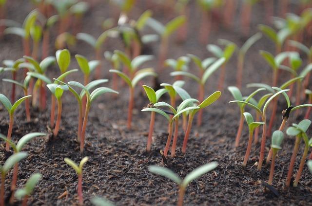 mladé semenáče rajčat