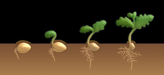 klíčení dvouděložné rostliny